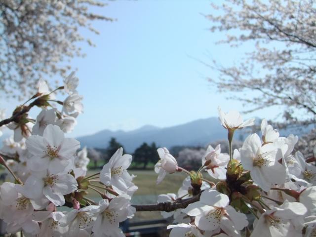 新潟【村松公園の桜まつり2020】開花状況や見頃は?見どころや混雑状況も!