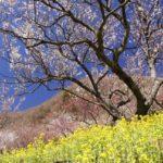 湯河原梅まつり・梅の宴2020!開花状況や日程は?