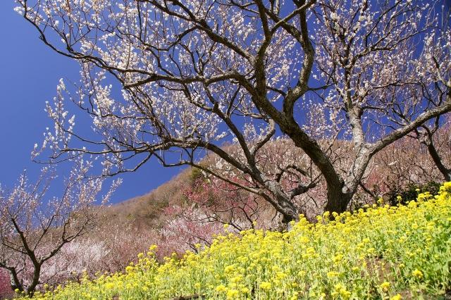 湯河原梅まつり・梅の宴