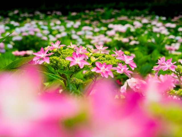 京都:善峯寺紫陽花