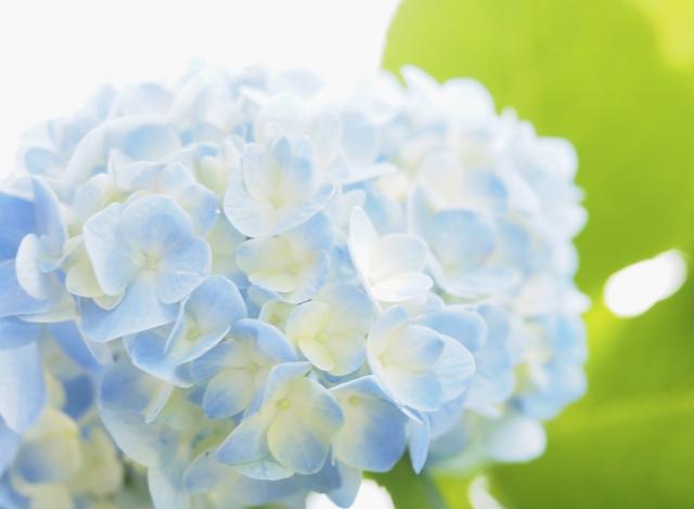 北海道:有珠善光寺自然公園紫陽花
